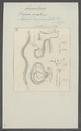 Ascaris brevicaudata - - Print - Iconographia Zoologica - Special Collections University of Amsterdam - UBAINV0274 104 03 0024.tif
