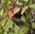 Ashy Prinia (Prinia socialis) nest- front view in West Indian Elm (Guazuma ulmifolia) in Hyderabad, AP W IMG 7498.jpg