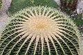 Asiento de suegra (Echinocactus grusonii), Jardín Botánico, Múnich, Alemania, 2013-09-08, DD 03.JPG