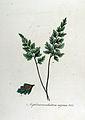 Asplenium adiantum-nigrum — Flora Batava — Volume v12.jpg