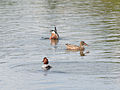 Assorted ducks (shovellers and a pochard) (14380450895).jpg