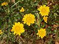 Asteraceae - Coleostephus myconis-3.JPG