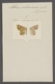 Asthena - Print - Iconographia Zoologica - Special Collections University of Amsterdam - UBAINV0274 059 10 0006.tif