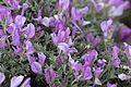Astragalus - Geven 09.jpg