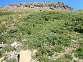 Astragalus alpinus (6120424125).jpg