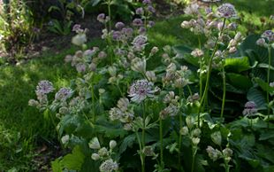 Astrantia-major-flowers.JPG