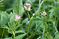 Astrantia major-4901 - Flickr - Ragnhild & Neil Crawford.jpg