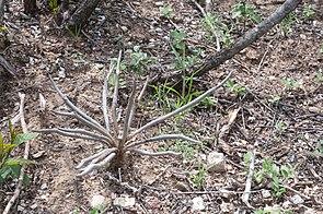 Astrophytum caput-medusae (Velazco & Nevarez) D. Hunt comb.nov.jpg