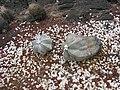 Astrophytum myriostigma - Parc Exotica.JPG