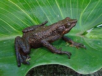 Lazarus taxon - Atelopus nahumae