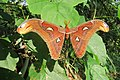 Attacus atlas - Atlas moth - at Peravoor (7).jpg