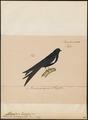 Atticora albiscapulata - 1835 - Print - Iconographia Zoologica - Special Collections University of Amsterdam - UBA01 IZ16700175.tif