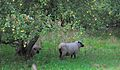 Autumn Sheep (5030807762).jpg