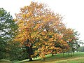 Autumn leaves in Greenwich Park - geograph.org.uk - 2104712.jpg