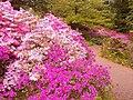 Azaleenblüte im BotBi2.jpg