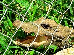Bébé crocodile.jpg