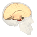 BA36 - medial view.png