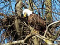 Bald eagle spotted in Delta, BC.jpg