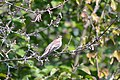 Balia nera (Ficedula hypoleuca) - European pied flycatcher, Milano, Italia, 09.2018.jpg
