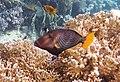 Balistapus undulatus-Оранжевоперый спинорог- Orange-striped triggerfish..DSCF9057ВЕ.jpg