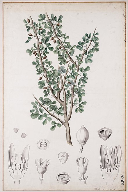 "Commiphora gileadensis (listed as ""Balsamodendron ehrenbergianum"" Balsamodendron ehrenbergianum00.jpg"