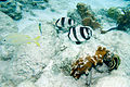 Banded butterflyfish Chaetodon striatus and others (4686290777).jpg