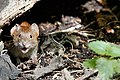 Bank Vole - Lackford Lakes (36726337042).jpg