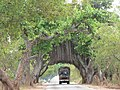 Banyans along road P1010720.jpg