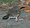Bare-eyed Thrush 1152.jpg