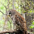 Barred Owl (14498667668).jpg