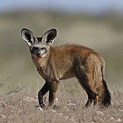 Bat-eared fox, Kgalagadi Transfrontier Park (38065016606).jpg