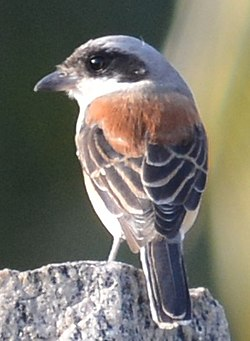 Bay backed shrike adult.jpg