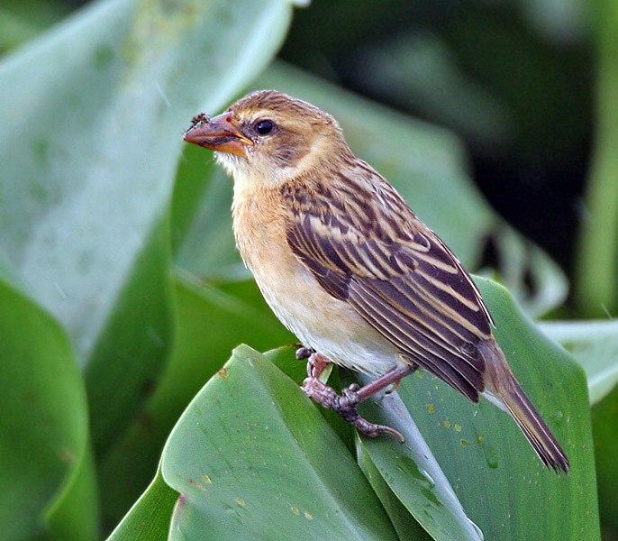 Baya Weaver (Ploceus philippinus)- Immature in Kolkata I IMG 8143