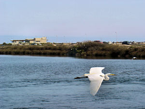 A Great Egret flying at the Bolsa Chica Ecolog...