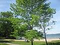 Beach - Bass Lake - panoramio.jpg
