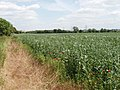 Bean field, Sandford - geograph.org.uk - 192152.jpg