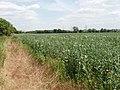 Bean field, Sandford - geograph.org.uk - 192152.jpg