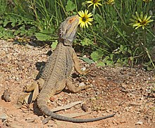 Rising Temperatures Are Causing Australian Central Bearded Dragons That Geically Male To Hatch As Females