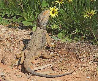 Pogona - Galore Hill Nature Reserve, New South Wales, Australia
