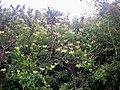 Beautiful Honeysuckle down the Stoney Road, Llanteg - geograph.org.uk - 1388777.jpg