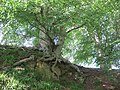 Beech tree with exposed roots near Cat Crags - geograph.org.uk - 2556234.jpg
