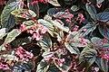 Begonia Venezuelan Species 4zz.jpg