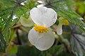 Begoniadregei.jpg