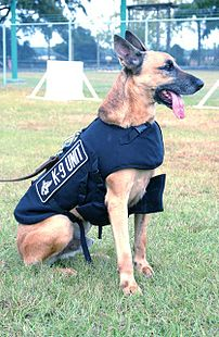 A Belgian Malinois of a police K9 unit.