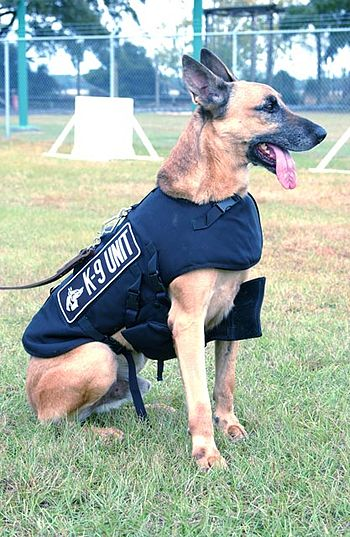 A Belgian Malinois of a police K-9 unit.