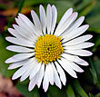 Bellis perennis white (aka)