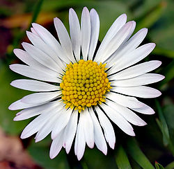Bellis perennis white (aka).jpg