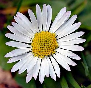 Bellis perennis - Image: Bellis perennis white (aka)