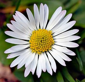 Pseudanthium - Image: Bellis perennis white (aka)