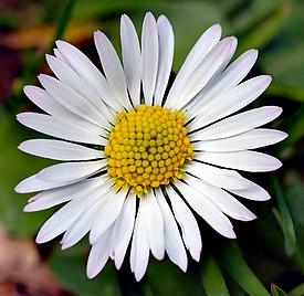 Цветок маргаритка википедия